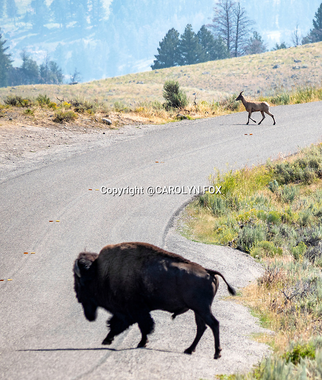 A bison and a big horn sheep seemed to have staged their crossing in Yellowstone.