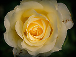 6.27.18 - The Yellow Rose...