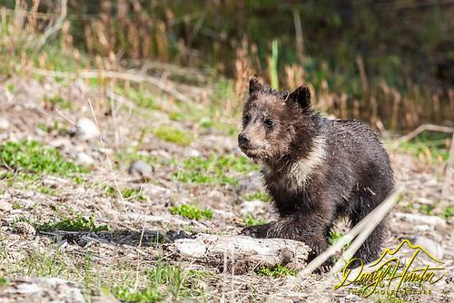 Cute Grizzly Bear cub