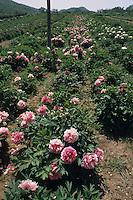 Centro Botanico Moutan dove di coltivano le peonie cinesi. Moutan Botanic Centre where cultivating the Chinese peonies....