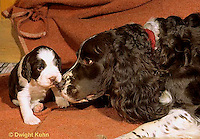 SH21-004z  Dog - nose greeting of English Springer puppy 3 weeks old with mother