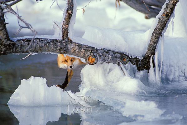 Red fox (Vulpes vulpes) along edge of frozen lake, November.