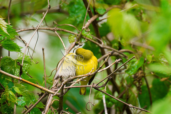 Yellow Warbler (Dendroica petechia). May.