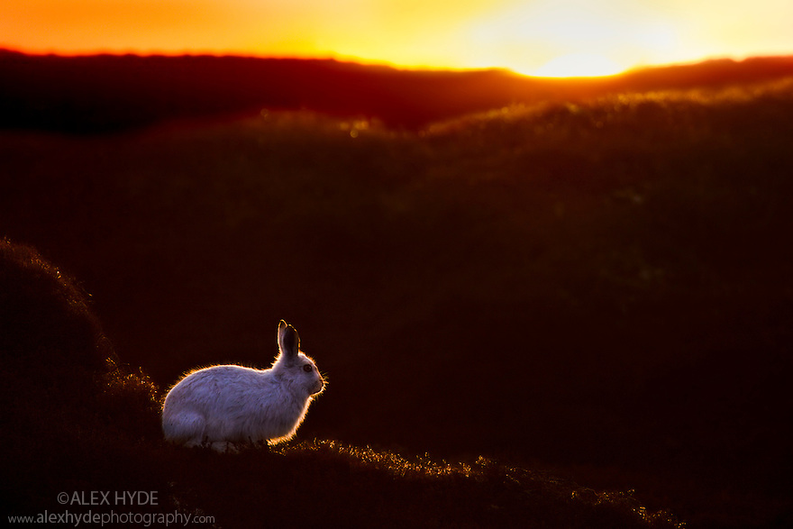Mountain Hare {Lepus timidus} at sunset with white coat that it develops during the winter. Kinder Scout, Peak District National Park, Derbyshire. February 2011.