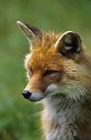 Rotfuchs, Portrait, Rot-Fuchs, Fuchs, Vulpes vulpes, red fox
