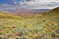 Landscape and wildflowers near Denio. Nevada