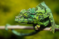 The master of disguise: a close-up of a Jackson's chameleon in Hawai'i.