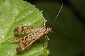 Scorpion Fly {Panorpa cognata} female. Strumpshaw Fen, Norfolk, UK. September.