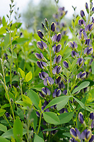 Baptisia 'Purple Eclipse'