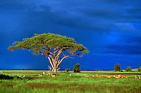 Impala, zebra and acatia tree under stormy sky, Amboseli National Park, Kenya, Africa..