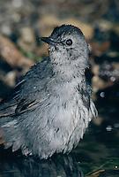 Gray Catbird, Dumetella carolinensis, adult bathing, High Island, Texas, USA, April 2001
