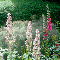 Bright pink foxgloves trumpet their presence in this border