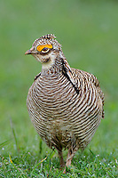 572110193 a wild male lesser prairie chicken tympanuchus pallidicintus displays and struts on a lek on a remote ranch near canadian in the texas panhandle