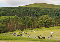 Holstein cattle at grass with woodland, Whitewell, Lancashire.