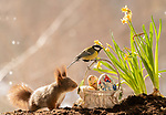 These red squirrels have their eggs at the ready for Easter weekend.  A group of the bushy-tailed rodents went on a hunt for Easter eggs amongst daffodils in this springtime photoshoot.<br /> <br /> Swedish photographer Geert Weggen is often visited by the red squirrels at his home in the village of Bispgården, so he decided to catch them celebrating the Easter season.  SEE OUR COPY FOR DETAILS.<br /> <br /> Please byline: Geert Weggen/Solent News<br /> <br /> © Geert Weggen/Solent News & Photo Agency<br /> UK +44 (0) 2380 458800