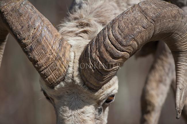 Growth rings on a Bighorn Sheep ram's horns