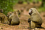 Olive Baboon (Papio anubis) dominant male watching over troop, Kibale National Park, western Uganda