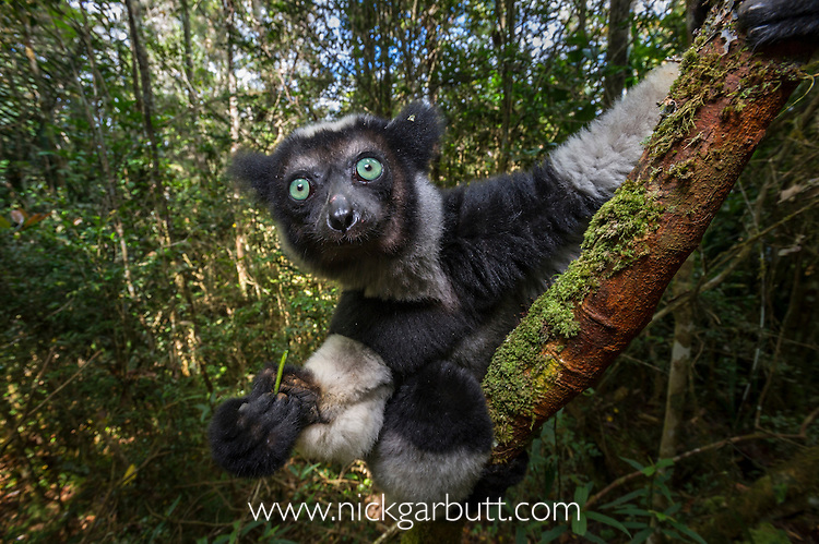 Adult Indri (Indri indri) feeding on fresh leaves / shoots in the rainforest canopy. Andasibe-Mantadia National Park, eastern Madagascar.