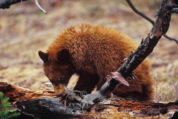 Black Bear (Ursus americanus) cub--cinnamon color phase, Western U.S., Spring.