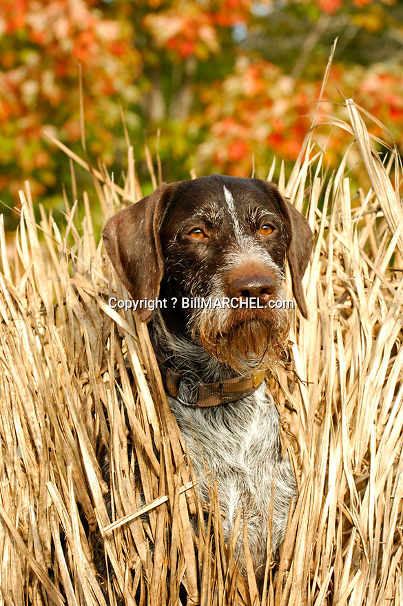 00279-019.10 Deutsch Drahthaar (DIGITAL) watches for game from blind made of Fast Grass.  Dog, hunt, waterfowl, ducks.  V6F1