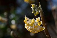 Japanischer Papierbusch, Mitsumata, Orientalischer Papierbusch, Edgeworthia chrysantha, Edgeworthia papyrifera, Edgeworthia tomentosa, Oriental Paperbush. Japanpapier