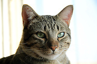 BOGOTA-COLOMBIA-9-02-2013 .Gato doméstico . Domestic cat  ( Photo / VizzorImage / Felipe Caicedo / Staff).