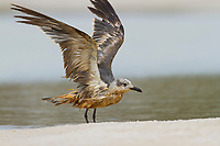 Heavily oiled immature Laughing Gull (Larus atricilla). Baldwin County, Alabama. June.