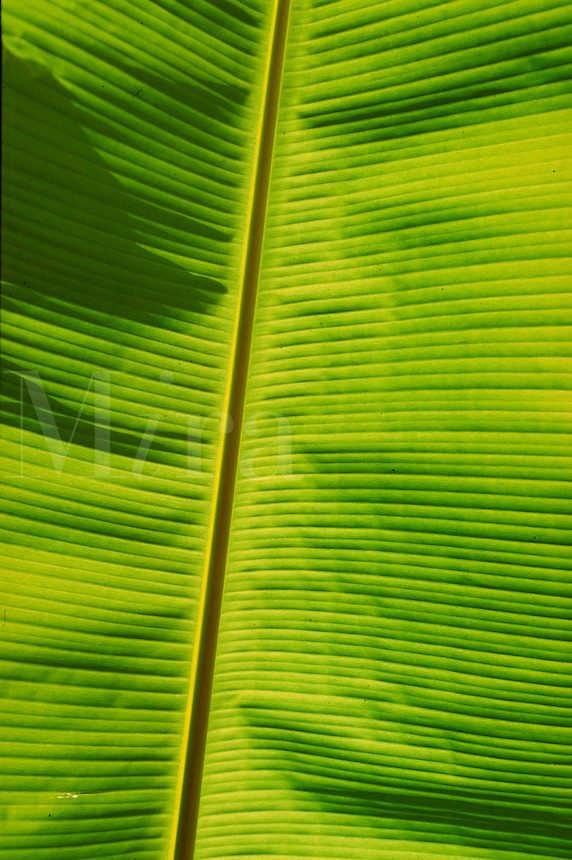 back-lit green banana leaf. St Thomas, US Virgin Islands Caribbean.