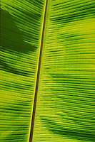 back-lit green banana leaf. St Thomas, US Virgin Islands Caribbean.