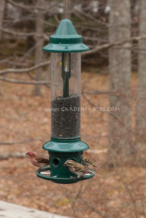Purple Finches & Goldfinch on Bird feeder in winter