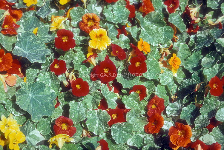 Nasturtium Alaska mix, variegated foliage, Tropaeoleum annuals in red, orange, yellow colors flowers