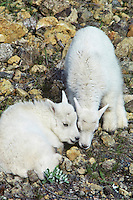 Two young mountain goat kids nuzzling each other in play, Pacific N.W., late spring
