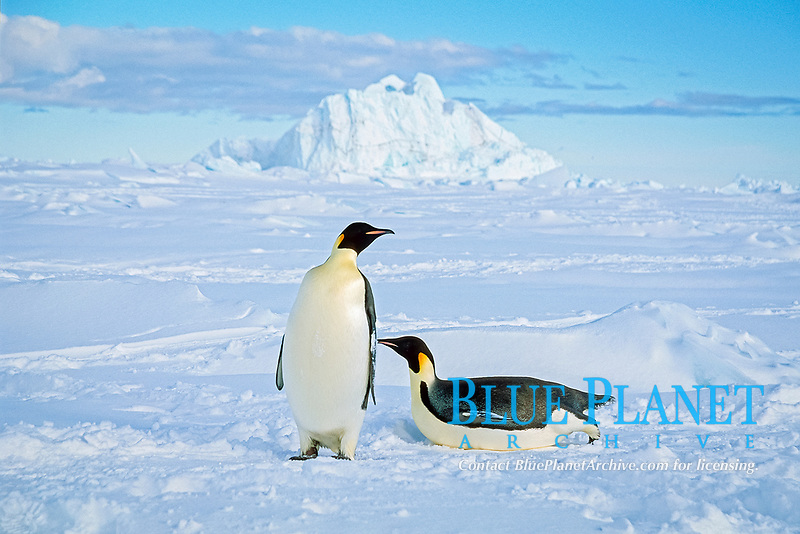 emperor penguin, Aptenodytes forsteri, Cape Washington, Ross Sea, Antarctica
