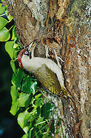European Green Woodpecker, Picus viridis, female with ants prey at nesting cavity in cherry tree, Walchwil, Switzerland, Europe