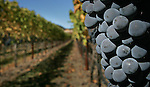 During the autumn season grapes hang off the vine in Napa Valley, California.
