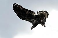 Immature Bald Eagle, Gran Tetons National Park