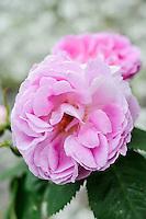 Rosa 'Bourbon Queen'