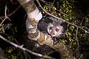 Adult Aye-aye (Daubentonia madagascariensis) active in forest canopy at night. Dry deciduous forest near Andranotsimaty. Daraina, northern Madagascar. (Critically Endangered)
