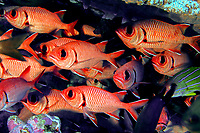 big-scale soldierfish, menpachi, Myripristis berndti, French Frigate Shoals, Papahanaumokuakea Marine National Monument, Northwestern Hawaiian Islands, USA, Pacific Ocean