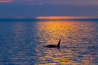 killer whale or orca, Orcinus orca, surfacing at sunset, resident orcas, San Juan Islands, Washington, USA, Pacific Ocean