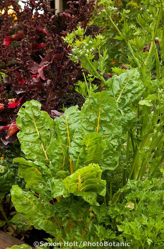 Organic vegetables, rainbow chard, parsley, Orach in edible garden bed; Lynmar Estate Winery