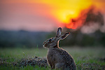 Hare watches sunset by Richard Ellis