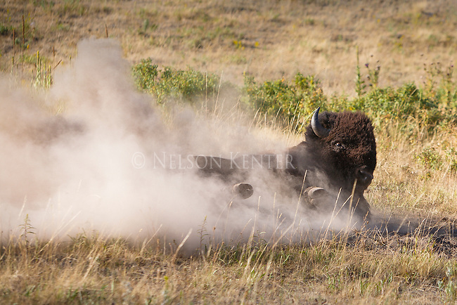 a bison bull rolls in the dust during the rut in montana