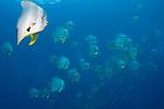 Schooling longfin spadefish or batfish, Platax teira, Raja Ampat, West Papua, Indonesia, Pacific Ocean