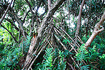 Ferns and Pandanus, Puna, Hawaii