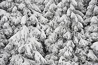 Snow covered spruce tree, Zug, Switzerland, December 2007