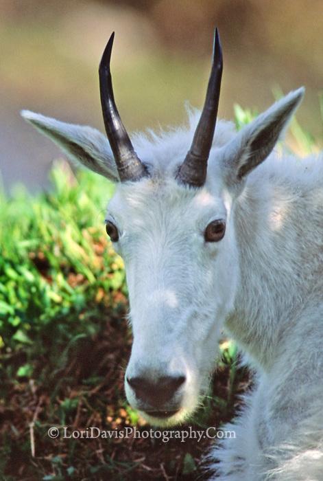Mt Goat Portrait  #G11