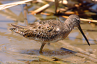 Long-billed dowitcher in molt to breeding plumage in early April