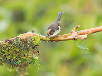 White-winged brush finch, Atlapetes leucopterus. Tandayapa Valley, Ecuador