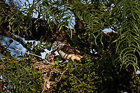 Scissor-tailed Flycatcher Feeding Young, San Angelo
